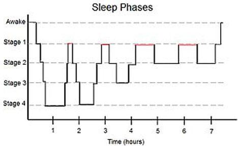 sleep cycles from wikipedia